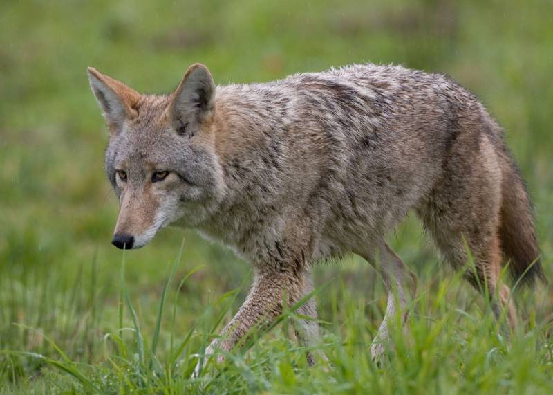 Coyote trapping & removal Las Vegas