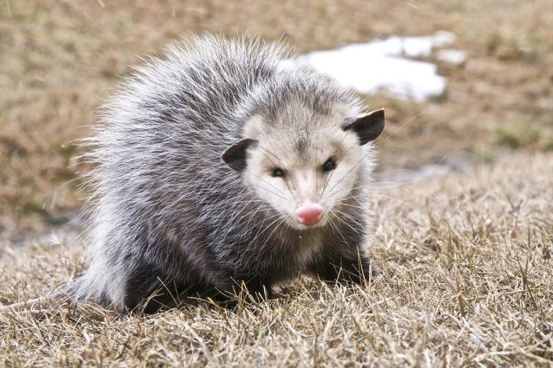 OpossumOpossum Control Las Vegas: Opossum Trapping & Removal
