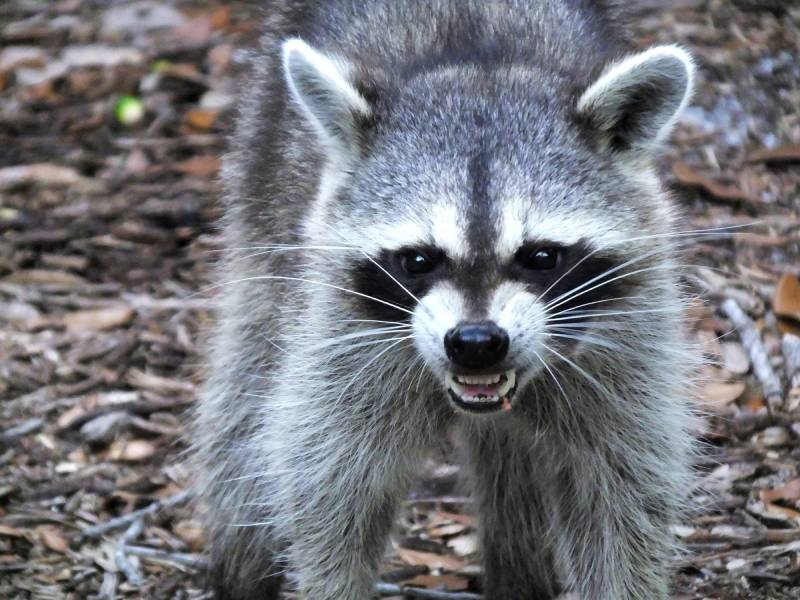 Raccoons Trapping & Removal Las Vegas